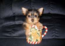 Registered lovely Teacup Yorkie Puppies for  adoption Image eClassifieds4U