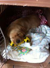 Little yellow lab puppie