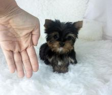 Stunning Teacup yorkie puppies available