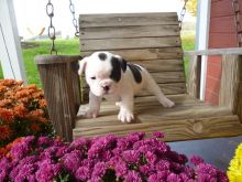 Adorable French Bulldog pups are ready to find their forever home.