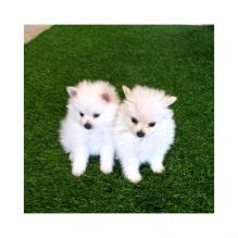 Adorable Teacup pomeranian puppies Currently Looking for a new home