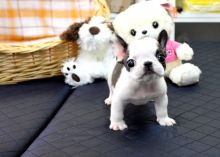 registered French Bulldog puppies that cannot wait to meet their new families (705) 999-6572