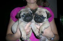 Smart Pug puppies house trained available txt @ denislambert500@gmail.com