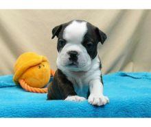Social Dynamic Male Boston terrier Puppies available txt denisportman500@gmail.com