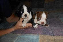 Cute CKC boston terrier puppies looking for love family txt denisportman500@gmail.com