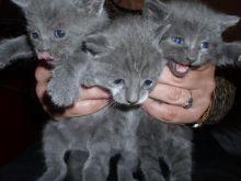 Persian kitten for sale edmonton