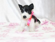 Gorgeous Schnauzer, Miniature puppies available contact for more mariaclear28@gmail.com