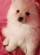 Toy Pomeranian puppies in Moncton. Text (567) 302-0474