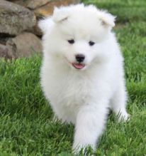 Accommodating Samoyed Puppies Ready For Sale Now
