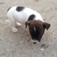 Jack Russell Puppies Adorable call or text us at ((402) 277))-8914