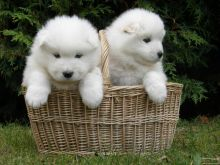 Excellent Samoyed Puppies For Sale