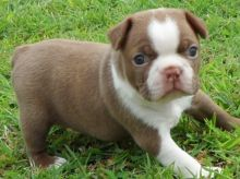 Cutest Boston Terrier Puppies For Sale Text (408) 800-1959