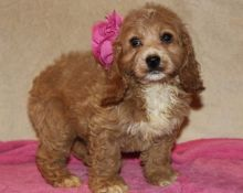Top Quality Cockapoo Puppies For Sale Text (408) 800-1959