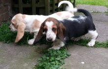 Beautiful Basset Hound Puppies For Sale SMS (408) 800-1959