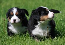*beautiful Bernese Mountain Dog Puppies For Sale, SMS (408) 800-1959
