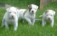 American Bulldog Puppies For Sale, SMS (408) 800-1959
