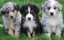 Australian Shepherd Puppies For Sale, SMS (408) 800-1959