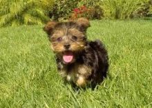 Australian Terrier Puppies For Sale, SMS (408) 800-1959