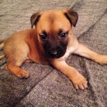 Belgian Malinois Puppies For Sale, SMS (408) 800-1959
