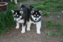 Pure Alaskan Malamute Puppies For Sale, SMS (408) 800-1959