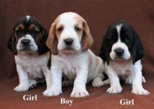 Stunning Quality Basset Hound For Sale, SMS (408) 800-1959