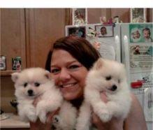 AKC Female Pomeranian Puppies//veronicalu.cy96@gmail.com