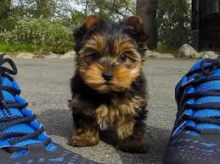 Australian Terrier Puppies For Sale, Text (408) 800-1959
