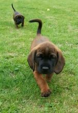 Bavarian Mountain Hound Puppies For Sale, Text (408) 800-1959