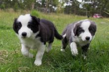 Healthy Border Collie Puppies.**vaccinated ** Puppies For Sale Text (408) 800-1959