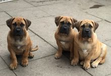 Last 3 Sweet Boerboel Puppies For Sale Text (408) 800-1959