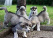 Pure Alaskan Malamute Puppies For Sale, Text (408) 800-1959