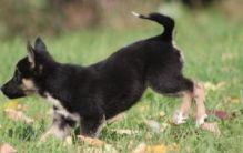 ,CKC registered English Bulldog Puppies text, :(365) 801-0230