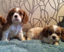 Cavalier King Charles Puppies For Sale . (408) 800-1959