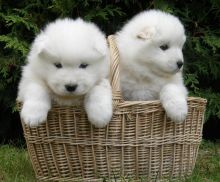 Well Trained Samoyed Puppies For Sale, Text (408) 800-1959