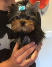 Guelph Yorkie Puppy Dogs Puppies For Sale Classifieds At