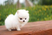 Valatines Pomerannian Puppies//v.eronicaaz.er1@gmail.com
