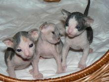 Healthy male and female Sphynx kittens Seeking new homes