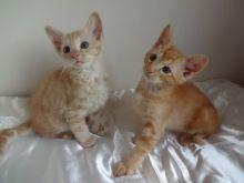 Stunning Oriental Kittens For Sale
