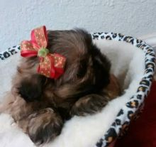 male Shih tzu puppy for free adoption for s-max for lovely home