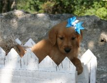 Beautiful Golden Retriever puppies available