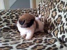 Cute shih tzu pups ready to leave for new homes