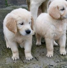 Gorgeous Litter Of Golden Retriever Puppies For Sale, Text (408) 800-1959