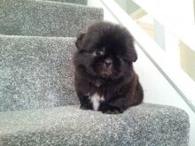 Gorgeous shih tzu puppies Availble