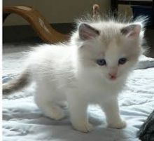 Two Ragdoll Kittens for pet lovers (218) 303-5958