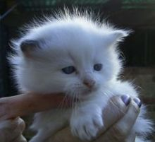 Well Socialized Ragdoll Kittens Available(218) 303-5958