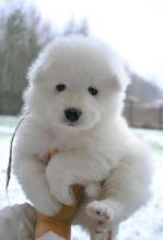 Potty Trained Samoyed Puppies For Sale, Text (442) 444-6617