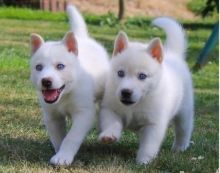 Pure White Raised Siberian Husky Puppies Ready For Sale Text (442) 444-6617