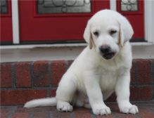 Male and female Labrador Retriever puppies.(218) 303-5958