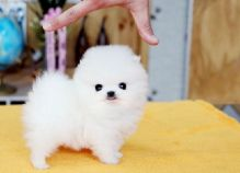 Teacup Pomeranian Puppies/AVAILABLE FOR CHRISTMAS