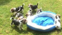 sweet little Beagle puppies are available now. They are house trained and socialized.